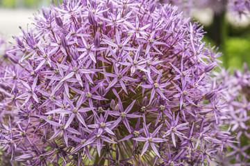 Onion Flowers blooming