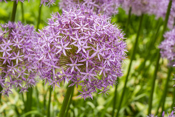 Onion Flowers blooming
