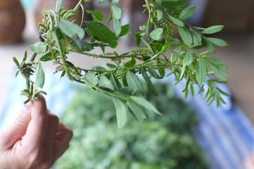 Close up Indigo tree , Picture for How to made Indigo dye