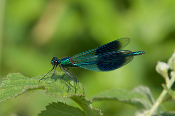 Male Banded demoiselle dragonfly, Calopteryx splendens, in the early spring sunshine.