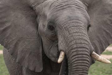 Close up of a young elephant.