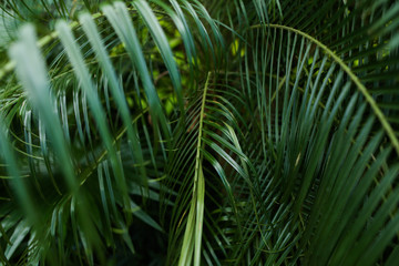 Palm green foliage background photo. Concept of flora in rainforests.