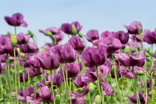 Purple poppy blossoms in a field papaver somniferum purple purple poppy blossoms in a field papaver somniferum purple poppies mightylinksfo