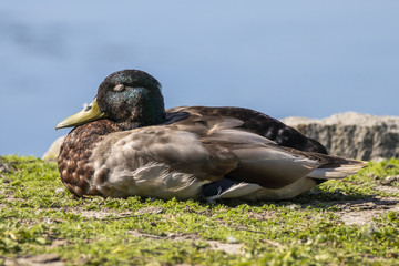 Cute mallard duck sleeping