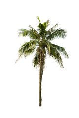 Isolated of coconut tree in Thailand on white background.