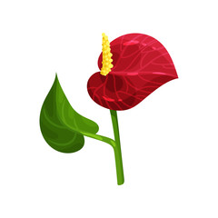 Gorgeous tropical flower. Anthurium with red petal and green leaf. Flat vector element for invitation, poster or postcard