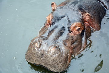 Head of a huge Hippo close-up