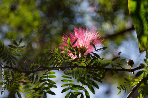 Image Of Cute Fluffy Pink Flowers On Blooming In Thailand Albizia