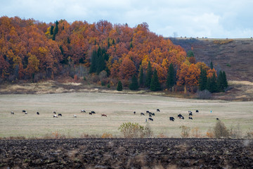 Wall Mural - Herd of cows grazing on an autumn field. Russia