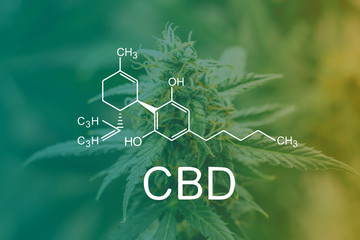CBD Chemical Formula, marijuana cbd thc. Concepts of legalizing medicinal herbs weed, bud cannabis, Macro shot with sugar trichomes, buds grown cannabis in the house, Bud cannabis before harvest