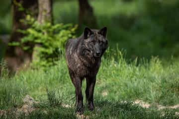 Black Wolf Animal