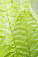 Closeup curled fern frond