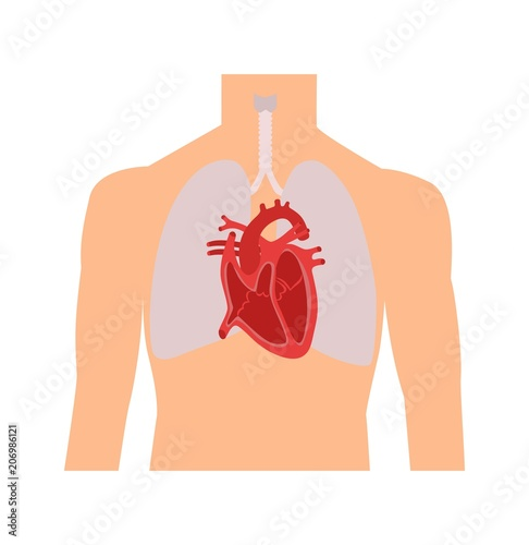 Heart and lungs. Internal organs in a male human body. Anatomy of ...