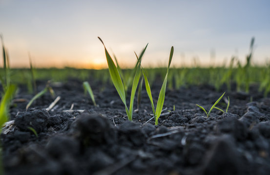 Young wheat seedlings growing in a field. Green wheat growing in soil. Close up on sprouting rye agricultural on a field in sunset. Sprouts of rye.