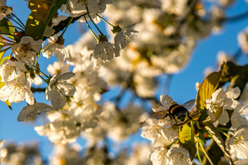 bumblebee flying cherry blossom