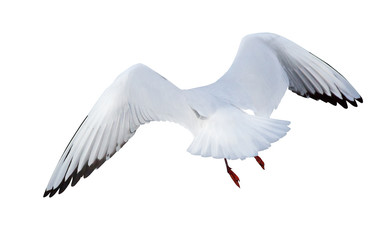 flying black-headed small gull back view