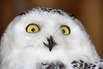Fotoväggar - white and black polar owl portrait