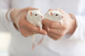 Two little cute rats in hands of a man in white clothes
