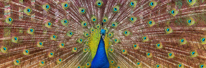 Fotobehang Pauw image of beautiful male peacock opening his tail, outdoors.