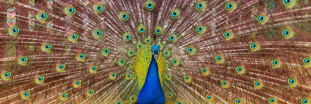 image of beautiful male peacock opening his tail, outdoors.