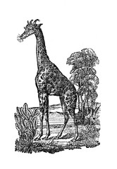 Giraffe (from Das Heller-Magazin, March 13, 1834)