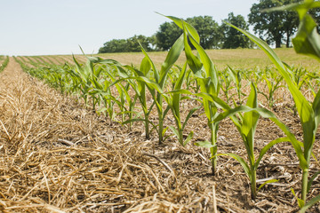 Close up of a row of young corn plants in a notill field with ryegrass residue in Wisconsin, USA