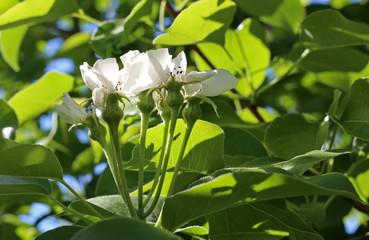 white flowers of garden pear