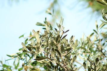 olive tree in natural garden, Mallorca, Spain, Espana