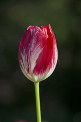 Tulip on a dark green background