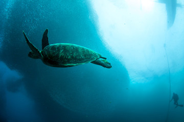 Sardine run and turtle.