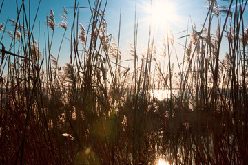 Fototapete - reed, lake, blue sky and sun