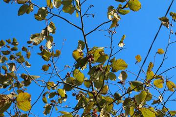 Hazel filbert tree with hazelnuts on the branch