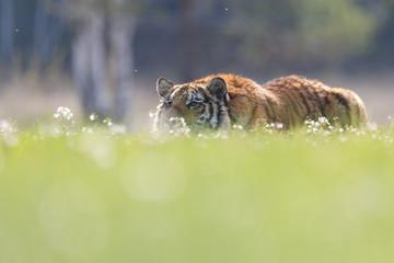 Tiger auf der Lauer