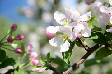 Blüten des Apfelbaumes, Blütezeit in Südtirol