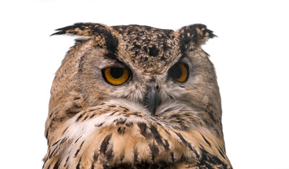 Wall Mural - Head of adult Eurasian eagle owl, isolated on white background. The horned owl.