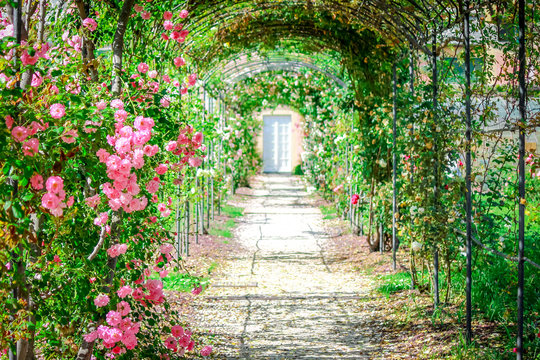 Garden path with roses on arches.