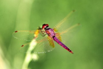 Red Dragonfly on a green background.