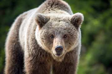 Wall Mural - Brown bear (Ursus arctos) portrait in forest