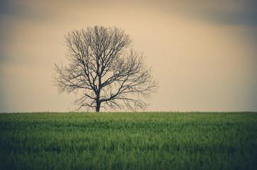 Árvore isolada em meio ao trigo.