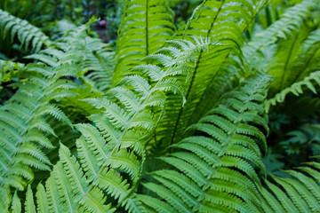bright green fern leaves large Plenum