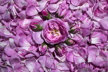 Flower roses and buds against the background of tea rose petals. Many petals of a gentle pink rose.
