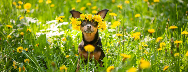 Сute puppy, a dog in a wreath of spring flowers  on a flowering meadow, a portrait of a dog. Spring Summer theme