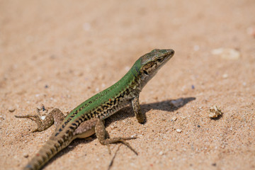 Green Lizard in the sand in the Fasano apulia Italy