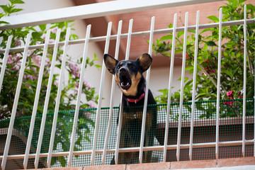 dog barking on balcony