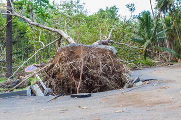 arbre déraciné après le passage de la tempête Fakir, anse des Cascades, île de la Réunion