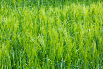 grass background on meadow