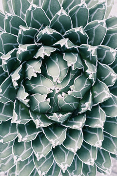 Queen Victoria Agave in pale tone. Top view photography.