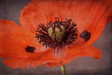 Poppy with texture, close-up, orange