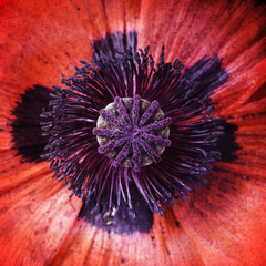 Poppy with texture, close-up, red