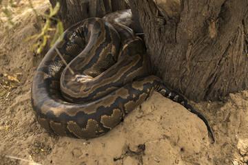 Python de Seba, Python sebae, Parc national des oiseaux du Djoudj, Sénégal